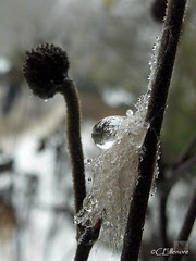 Flaumfeder mit Tropfen (19.01.2010) (Ellenore56) Tags: winter plant color macro reflection weather lumix drops pflanze feather environmental drop panasonic tiny droplet environment wee midget makro teeny farbe spiegelung thaw wetter januar ecological reflektion tropfen umwelt thawing miniscule feder trpfchen winzig tauwetter downfeather tz7 flaumfeder 19012009 dmctz7 panasoniclumixdmctz7 unserwissenisteintropfen