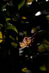 20100109 Shirotori Garden 9 (Stamens) (BONGURI) Tags: nikon stamens nagoya   camellia sasanqua  aichi  atsuta d300 stamina      shirotorigarden