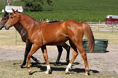Ruby (neulands) Tags: horses cheval ruby youngster pferde colt paddock foals yearling fohlen yearlings neulandstud rubinroyal neulandrubinroyal