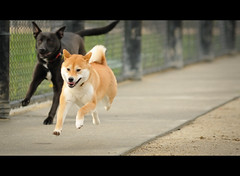 Yeah, She's Fast - 4/52 (kaoni701) Tags: sf sanfrancisco speed puppy jump play action air fast tokina agility sonicboom suki dogpark shibainu shiba dogrun lr3  hangtime nx2 50135 d300s atx535prodx 52weeksfordogs