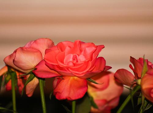 280110_ roses #1