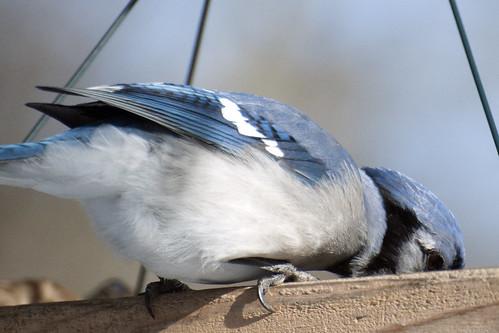 Blue Jay Eyeliner