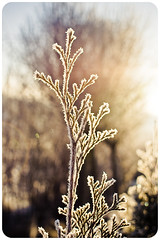 (.sxf) Tags: schnee winter light sunlight snow ice nature licht frozen frost bokeh 28mm january evergreen eis conifers januar conifer sonnenschein gefroren sonnenlicht nadelbaum bokey