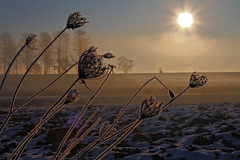 Morning, 8 AM, -5°C (Robyn Hooz) Tags: morning flowers italy sun mist cold ice canon italia freezing sigma os fiori sole nebbia freddo padova mattina veneto 18125 hsm mywinners anawesomeshot 1000d saariysqualitypictures
