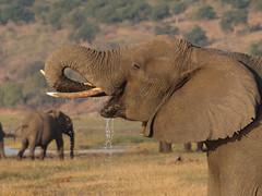 [フリー画像] [動物写真] [哺乳類] [象/ゾウ]        [フリー素材]