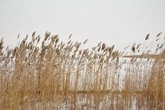Krkjad tuules (anuwintschalek) Tags: winter lake ice reeds austria see skating january eis burgenland schilf 2010 eislaufen neusiedlersee talv jrv j seebad 18200vr mrbisch uisutamas nikond90 pilliroog krkjad mrbischamneusiedlersee