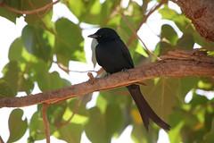 BlackDrongo
