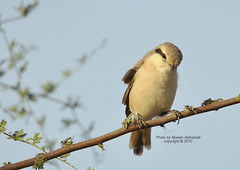 Shy    (CLICK GROUP   Moeen) Tags: nikon saudiarabia  d90 jazan gizan       thewonderfulworldofbirds