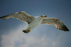 Libertà / Freedom (AndreaPucci) Tags: italy freedom italia seagull tuscany toscana livorno gabbiano libertà portoferraio canoneos400 canonefs55250f456is andreapucci theoriginalgoldseal