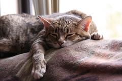 2010_01_18_9999_15 (BrainPie) Tags: family cats pets brown love girl animals female cat pumpkin grey feline stripes tabby gray kitty kitties felines striped