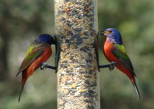 Male Painted Buntings