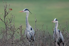 Looking out from the top of the trees (dave millers photos) Tags: trees heron birds british tops specanimal