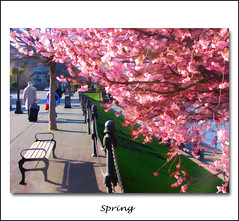 Feb 19th .. early Spring in Victoria (ZedZap Photos) Tags: city travel canada tree tourism cherry landscape bc blossom belleville canadian vancouverisland hdr cherrytree victoriabc nationalgeographic innerharbour topazsimplify zedzap