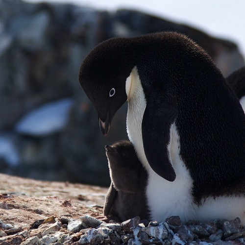 Adelie and Chick by Devil BunnyCute Adelie Penguin