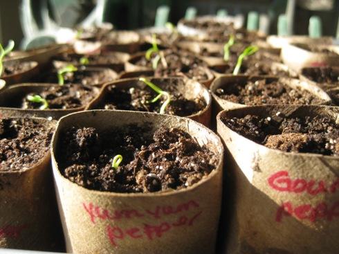 Pepper seedlings 005