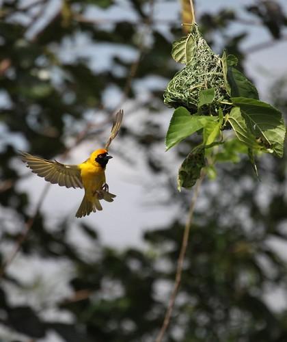 Southern masked weaver bird.