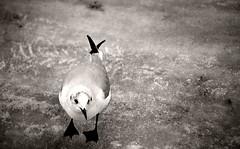 extravagante eisfogigraphie (berni s.) Tags: minolta 5 dynax elbe unterelbe eisvogel lheanleger schwarzfuseisvogel knnteauchnemwesein ichwolltenichtaussteigen mirwarkalt