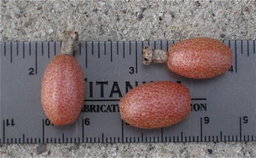 EleagnusBerries