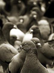 DOF? (picsun) Tags: india alone pigeon sunil hyderabad hpc pegeon andhrapradesh kabootar krishlikesit pavuram picsun sunilmurthy sunilmurthymanda picsunphotography