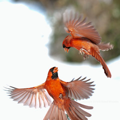 cardinal combat 5120 (Edward Mistarka) Tags: winter red usa brown white snow black cold ecology beautiful birds horizontal landscape freedom healthy movement afternoon cardinal ngc gray warmth maryland health hunger hungry prey frigid survival alert tenacity territory nutrition ecofriendly cardinaliscardinalis sustenance redbird northerncardinal naturesfinest sharpfocus malecardinals saariysqualitypictures environmentsafe cardinalflying northerncardinalflying survivalexpert birdforaging twobird malecardinalsinfight cardinalsflying cardinalincombat northerncardinalcombat territorialstrife territorialcombat