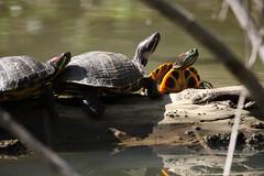 Enjoying the Sunshine (fksr) Tags: california turtle marincounty alpinelake redearedslider