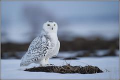 Owl (Snowy) - 1862 (Earl Reinink) Tags: flight raptor snowyowl snowyowlinflight earlreinink wwwearlreininkcom wwwipaintca