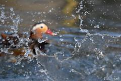 Splash! (giansacca) Tags: birds animals duck uccelli pato mandarin mandarinduck animaux animali canard oiseaux racconigi aixgalericulata anitra lipu mandarinente mandarn canardmandarin patomandarn anatramandarina centrocicogne associazionecentrocicogneeanatidi mygearandme mygearandmepremium