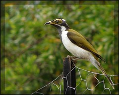 Juvenile Blue-faced Honeyeater (Tatters:)) Tags: bird australia brett qld bluefacedhoneyeater entomyzon honeyeater entomyzoncyanotis