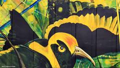 Sericulus chrysocephalus - Male Regent Bower Bird (Treasures of the Tweed Mural Project) (Black Diamond Images) Tags: mural australia nsw commercialroad florafauna threatenedspecies murwillumbah ptilonorhynchidae regentbowerbird commercialrd sericulus educationalmural tweedcaldera chrysocephalussericulus treasurestweedmuralproject treasuresofthetweedmural maleregentbowerbird tottmp treasuresofthetweed tweedartgallery endangeredecologicalcommunities2008present