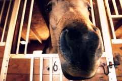 Scratch and Sniff (EyeSeeTheWorld) Tags: horse barn mare farm stall arabian stable stallion loh