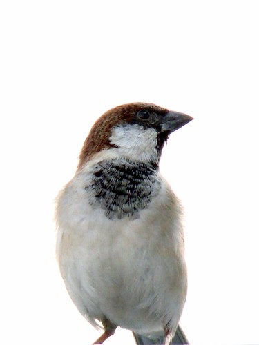 20th March 2010 World House Sparrow Day (WHSD)