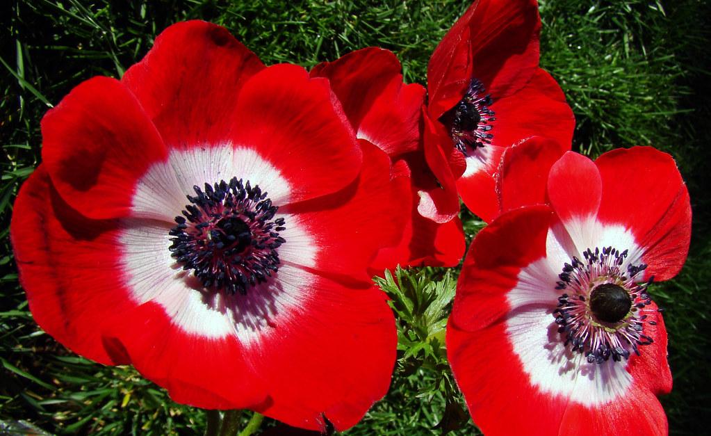 DSC04784 anemones