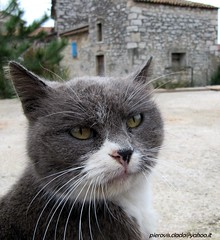 ...all cats are grey !? (pierovis'ciada) Tags: cat grey grigio gato thecure gatto istria istra istrian istre brtonigla verteneglio allcatsaregray istren tutiigatixegrigi