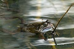 v (YOYO182) Tags: uk wildlife frog camouflage ukwildlife