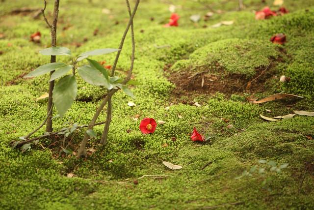 苔地面の落花