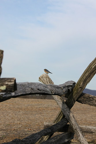 bluebird on split rail fence at antietam