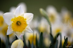 Daffodil (FLASH MEDIA CREATIONS) Tags: pictures nottingham uk flowers wild summer england india flower nature birds animals yellow advertising photography spring amazing interesting nikon pics fashionphotography wildlife creative insects lakeside daffodil ram tamilnadu nottinghamshire coimbatore designing universityofnottingham professionalphotography 200mm eastmidlands foodphotography cbe productphotography prasanth fmc industrialphotography d40 disambiguation nottinghamuniversity highfieldspark advertisingphotography ramprasanth jewelleryphotography photographycompany designinglogo flashmediacreations productphotographyincoimbatore industrialphotographyincoimbatore professionalphotographysolutions photographyprintinglogo coimbatoreweb ramprasanthphotography