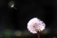 Fly away (Clonedbird  & Iris ) Tags: fly dandelion