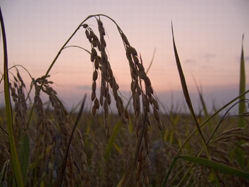 piante di riso , risaie Zaccaria