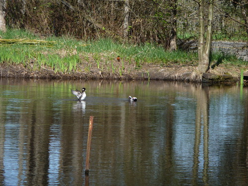 Mr. and Mrs. Bufflehead #5