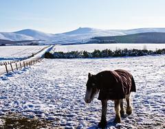shire cuddie (pamelaadam) Tags: winter horse nature animal digital scotland aberdeenshire fotolog february 2010 thebiggestgroup
