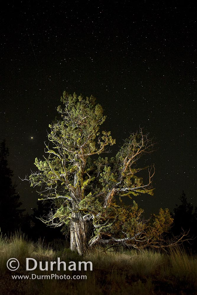 western juniper and night sky