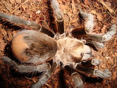 Tarantula missing hairs