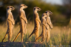 Meerkat Family (Burrard-Lucas Wildlife Photography) Tags: family mob clan colony scouting meerkats scoping wildilfe suricates