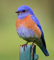 Western Bluebird portrait (spiderhunters) Tags: bird nationalgeographic westernbluebird sialiamexicana sanfranciscobaybirds californiabirds specanimal