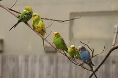 "Parakeet_ group on branch • <a style=""font-size:0.8em;"" href=""http://www.flickr.com/photos/30765416@N06/4529243090/"" target=""_blank"">View on Flickr</a>"