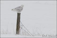 Owl (Snowy) - 2605 (Earl Reinink) Tags: winter raptor snowyowl snowyowlinflight earlreinink wwwearlreininkcom wwwipaintca