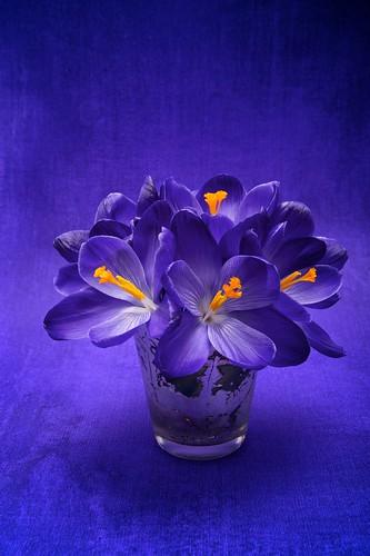フリー写真素材, 花・植物, アヤメ科, クロッカス, パープル,