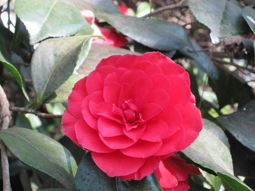 Camellia, Isabella Plantation
