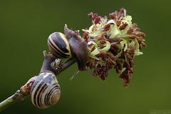 Spring Fiesta (Vie Lipowski) Tags: flower nature wildlife snail slowpoke detritivore
